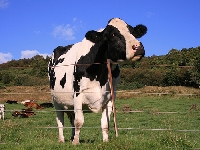 The largest cow on earth (Record) - similarity