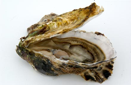 Oyster (Look Like) - similarity image