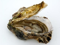 Oyster (Look Like) - similarity