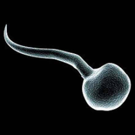 human sperm cell under microscope
