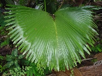 Giant leaf (Giant) - similarity